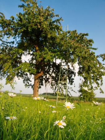 Daisy and Cherry Tree